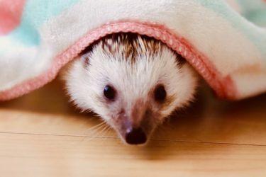 ハリネズミの【飼い方・種類・値段】について徹底解説!
